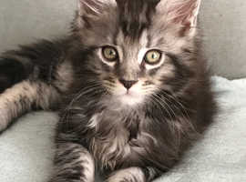 American Curl Cat For Sale Uk