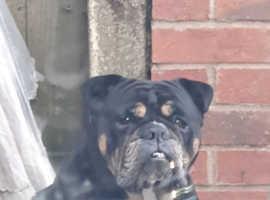 Old English bulldog