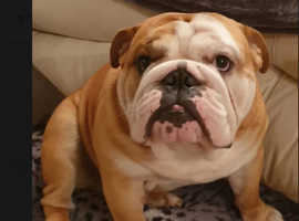 For stud.. Red and white Carrie's chocolate English bulldog
