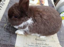 Rare chocolate mantle Netherland dwarf girl ready now