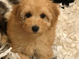 One extremely cute maltipoo pup