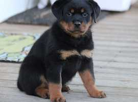 Top Quality Strong And Energetic Rottweiler Puppies Ready Now