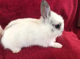 Pure breed Netherland Dwarfs bunnies