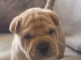 Big chow pei pup