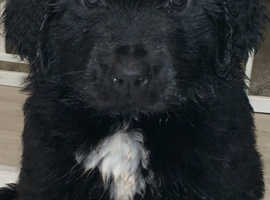 Newfoundland puppies for sale!