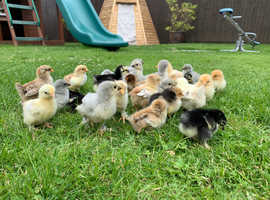 Beautiful unsexed Pekin Bantam chicks READY NOW