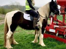 MUSTANG SALLY 15hh mare for sale