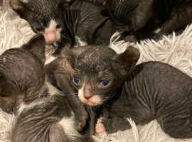 Donskoy sphynx- Elf kittens