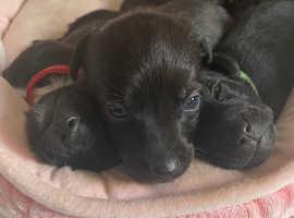 Patterjack puppies