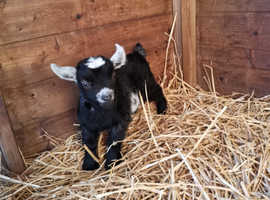 Pedigree Pygmy goat kids
