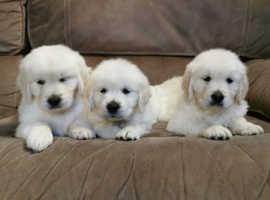 Fabulous litter of Golden Retriever Puppies for Sale