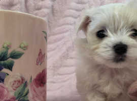 Maltese kc puppies cute puppy small little dog bitch white fluffy teddy bears SO Cute