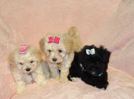 XXXXS Micro Tiny Gorgeous Maltese X Toy Poodle Maltipoo Puppies