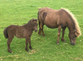 Registered Shetland Mare and Foal