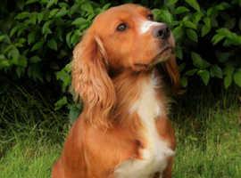 Proven Stunning KC Registered Fully Health Tested stud Dog