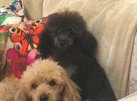 Maltipoo wanted for stud mate  Maltipoo Male dog