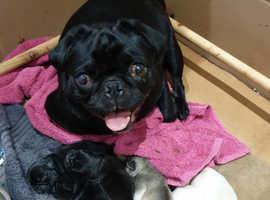 Stunning Pedigree KC Pug puppies