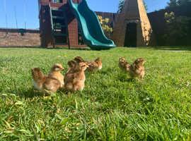 Beautiful baby Welsummer Bantam Chicks