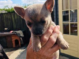 Lilac boy Chihuahua