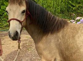 American quarter horse X