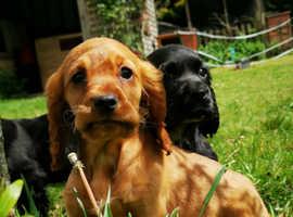 Show cocker spaniel pups