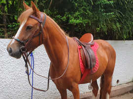 Amber - Gorgeous Chestnut 12.2hh 6yo New Forest Mare Child's Pony