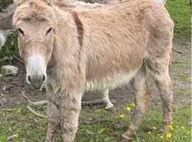 Jenny donkey for sale