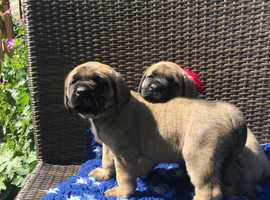 English Mastiff Dogs & Puppies For Sale & Rehome in