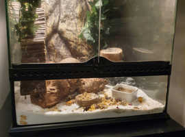 Gecko for sale with viv