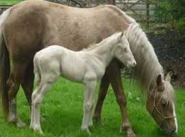 Registered 15hh Palomino Broodmare