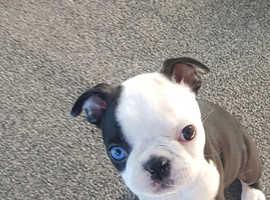 beautifull boston terrier pups