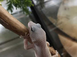 Young gecko for sale