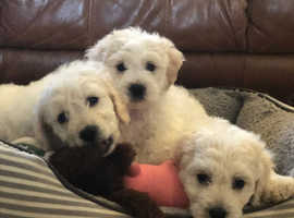 3 adorable Poochon Puppies