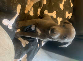Blue whippet puppy ready to leave