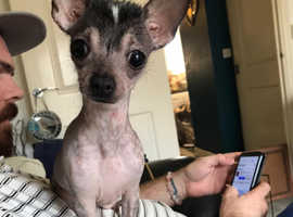 chihuahua Cross Chinese crested
