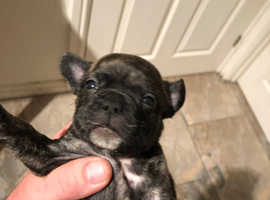 French bulldog puppies. Pontyclun