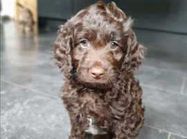 Looking for a chocolate sprocker (boy)