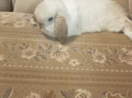 5 month old mini lop