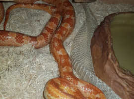 BARGAIN !!! Corn Snake (FEMALE) AND 5Ft VIV FULL SET UP..ABSOLUTE BARGAIN AT PRICE!!!