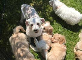 Cuddley Cavachon puppies