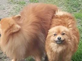male pomeranian pup for sale