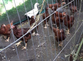 16 week old rhode island red pullets for sale