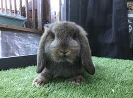Agouti German lop baby rabbit boy