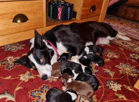 Beautiful purebred Border Collie puppies for sale