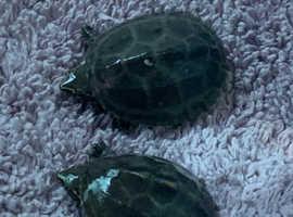 Baby musk turtles