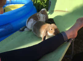 Male french lop for sale