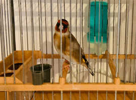 Beautiful goldfinches for sale! All close rung and singing