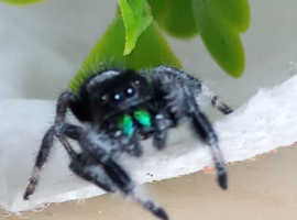 Live Jumping Spiders