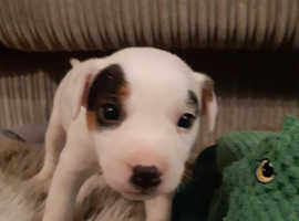 Jack Russel puppy female for sale