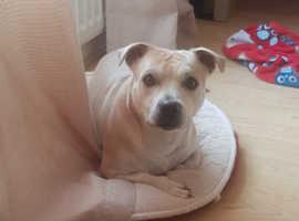 Rufus 3 yr old staffie cross Yorkshire terrier